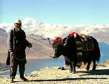 チベット人とヤクの画像