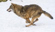 雪上を疾駆するオオカミ