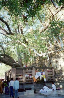 ゴータマ・ブッダの菩提樹
