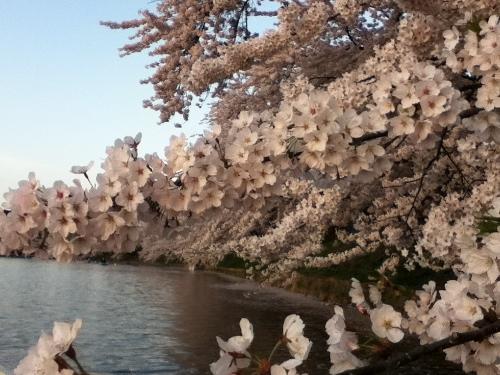 ボート桜① (500x375)