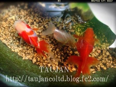 TAUJAN ギャラリー 金魚