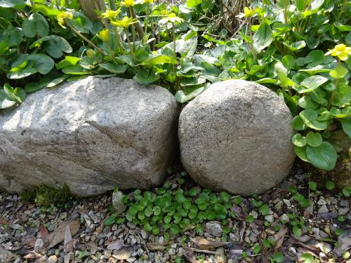 石の手前はヒメリュウキンカの幼苗(自然生え)