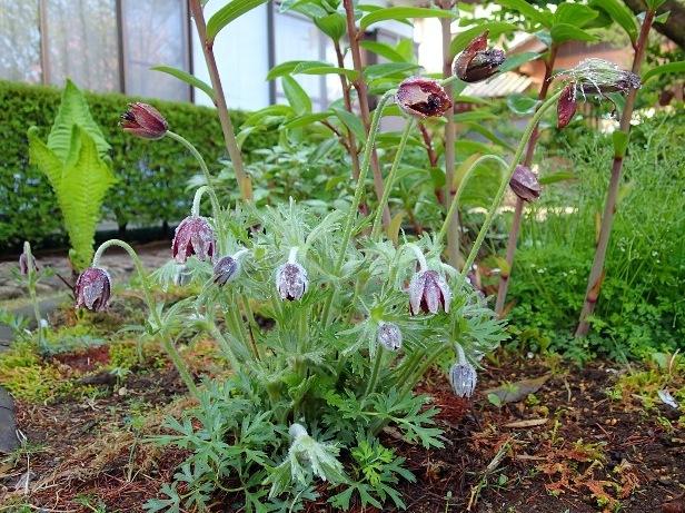 201405 オキナグサ 花