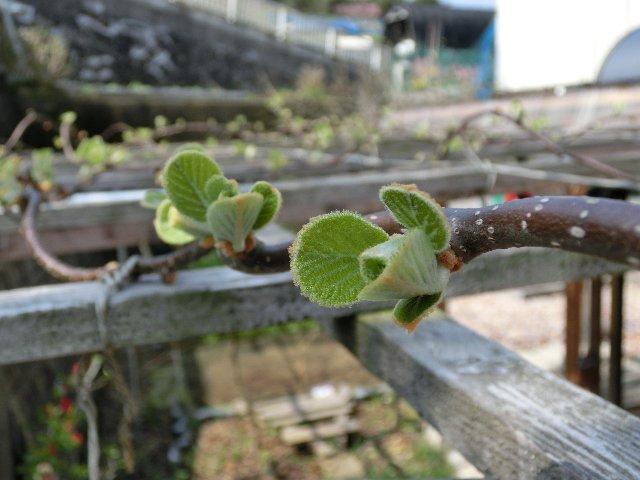キウイの芽