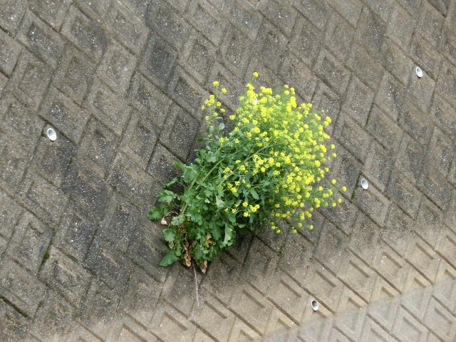 ど根性菜の花