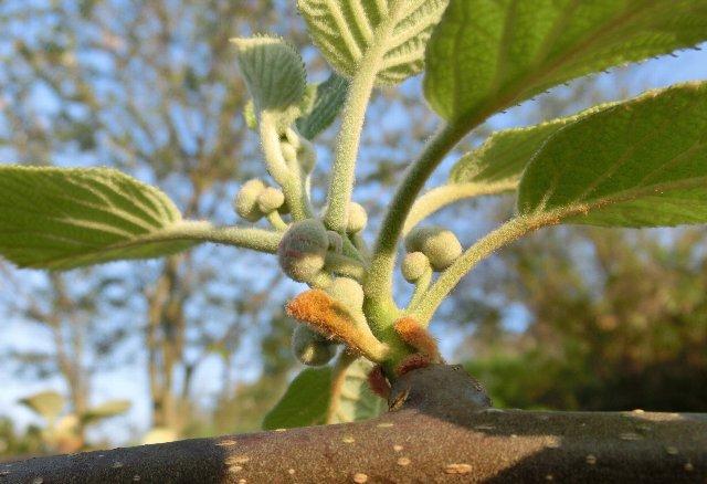 キウイの花芽