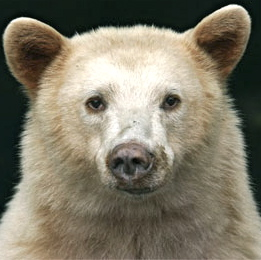White-Spirit-Bear.jpg