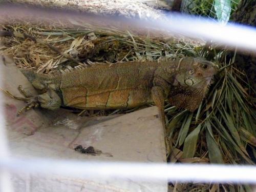 プエルトロペス 安宿 イグアナ