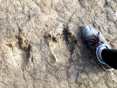 恐竜の足跡の大きさ