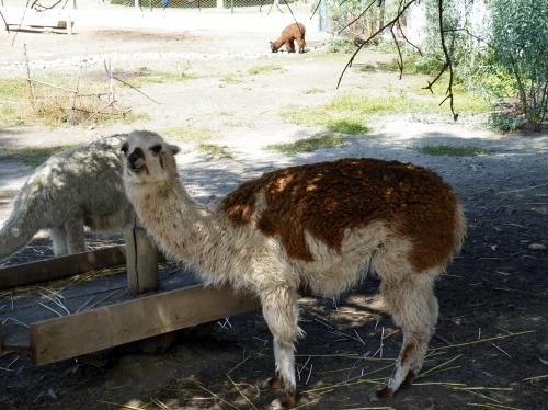 ラパス 動物園 リャマ