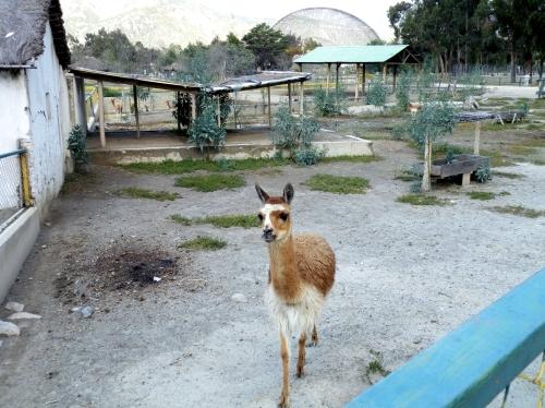 ラパス 動物園 ビクーニャ