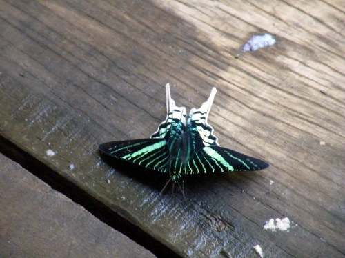 珍しい 蝶