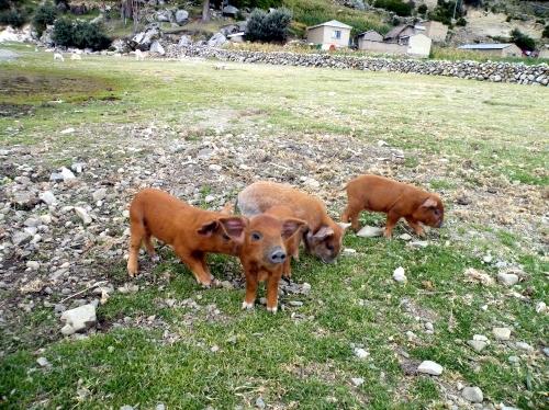 太陽の島 子豚