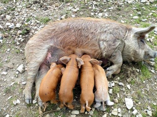 太陽の島 ブタ 子豚