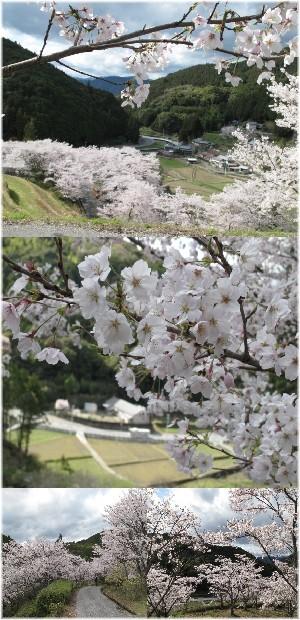 ryuga-hanami.jpg