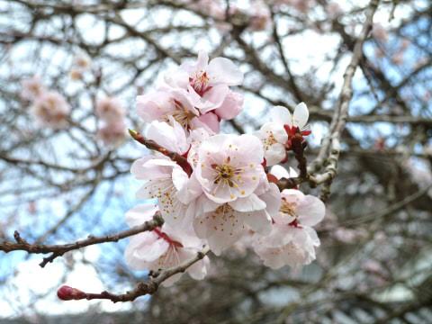 桜0405