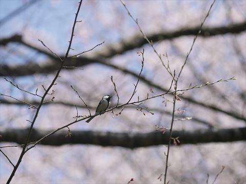 シジュウ桜と 4/12