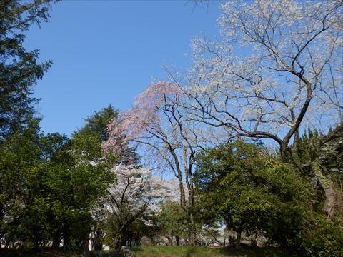 桜4/19