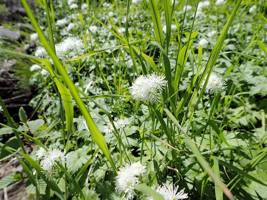 花10-モミジカラマツP7260096