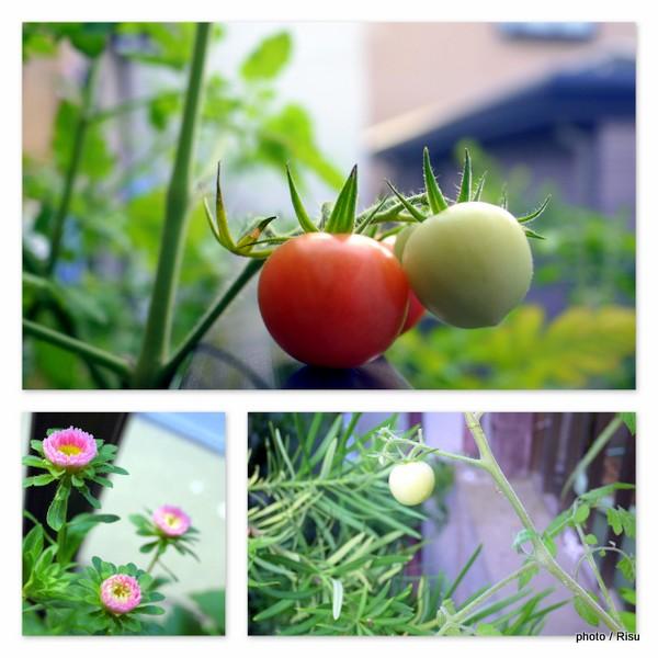 家庭菜園でミニトマト