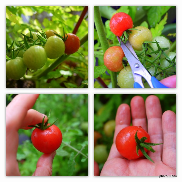 家庭菜園でミニトマト栽培