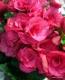 イイハナ・ドットコム母の日ベゴニア鉢植え