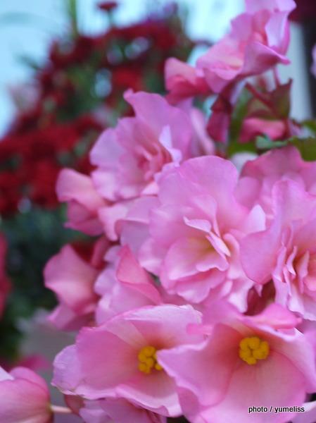 母の日イイハナ・ドットコム鉢植え「ベゴニア」