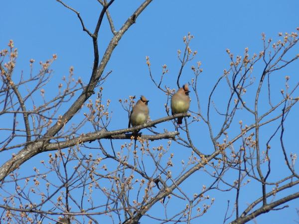 2014 04 03_さくらと鳥_2106