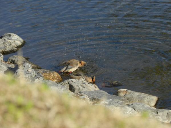 2014 04 03_さくらと鳥_2116