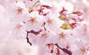 Sakura-300x187.jpg