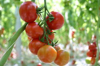 tomato2014031802.jpg
