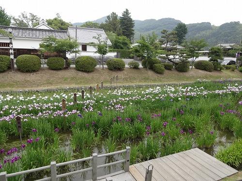錦帯橋 吉香公園の花菖蒲