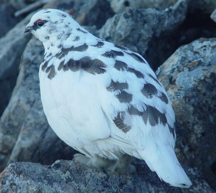 Ptarmigan_Raicyou_Male_in_kamikouchidake_2003_11_23.jpg