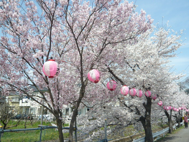近所の桜満開!