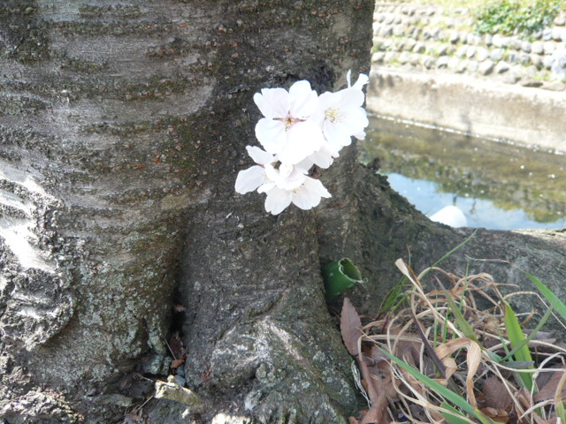 根本の桜。。。