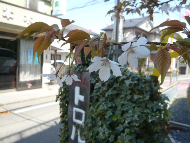トロルの桜