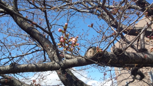 2014-3-27桜