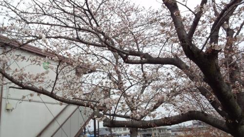 2014-3-28桜