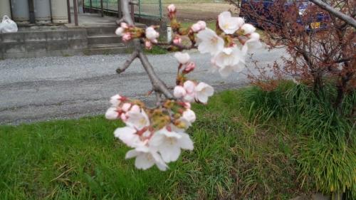 2014-3-28桜2