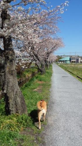 2014桜並木1