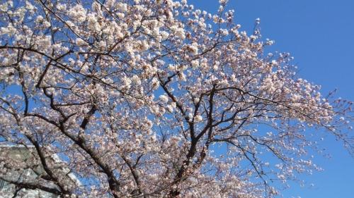 2014桜並木2