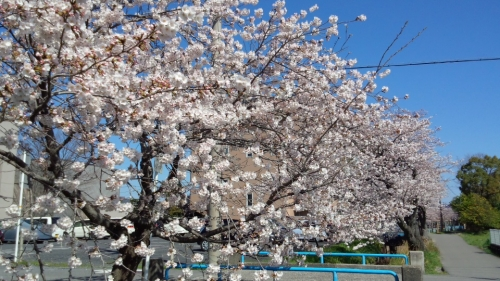 2014桜並木3
