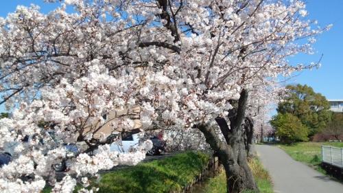 2014桜並木4