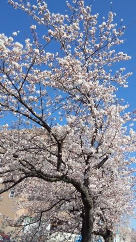 2014桜並木5