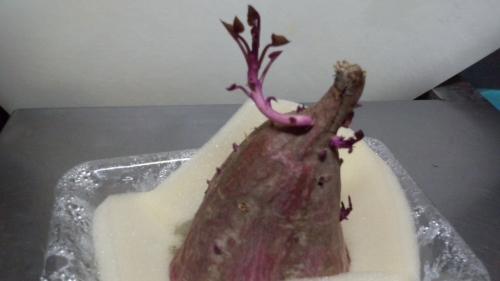 2014-4サツマイモの芽