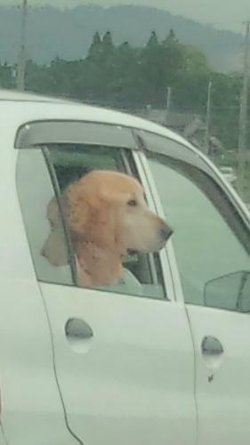 ドライブわんこ