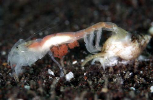 スナモグリの抱卵