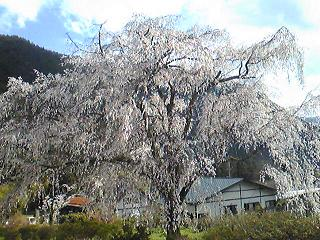 湯の山のしだれ桜