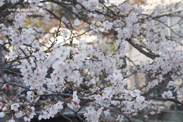 玉造温泉 川沿いの桜