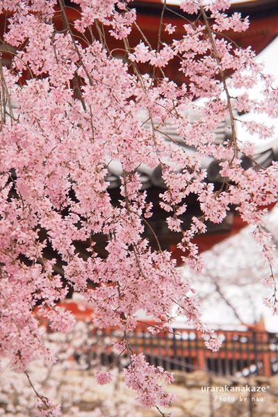桜・・宮島にて